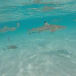 Moorea (Polynésie Française) : nager avec les requins et raies en snorkelling