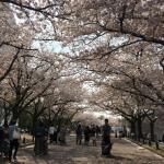 Carnet de Voyage Osaka (Japon) #4 : Sakura à l'Expo '70 Commemorative Park, Japan Folk Crafts Museum
