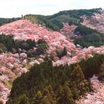 Mont Yoshino (japon) : 30 000 cerisiers en fleurs