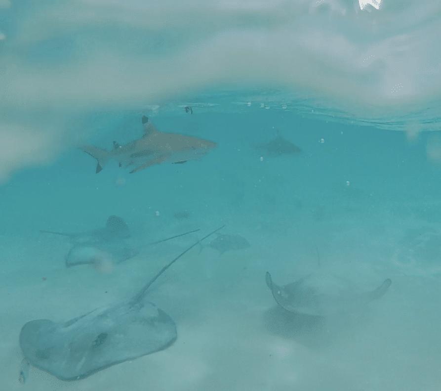 moorea-requins-raies2